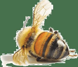 Se l'ape scomparisse...